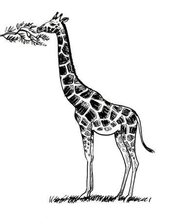 giraffe animal eating leaves from the tree. Ink black and white drawing