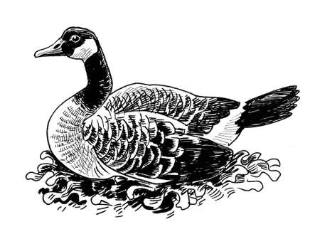 Wild Canadian goose bird. Ink black and white drawing