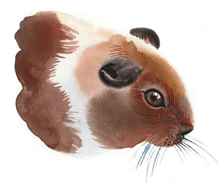 Guinea pig animal. Ink and watercolor drawing