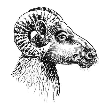 Ram animal head. Ink black and white drawing