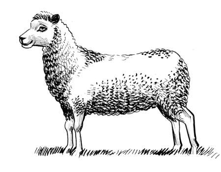 Standing sheep. Ink black and white drawing