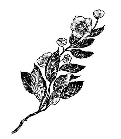 Tea plant branch. Ink black and white drawing Zdjęcie Seryjne