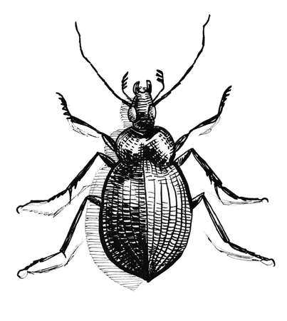 Bug beetle insect illustration.