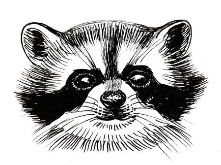 Raccoon head. Ink black and white drawing Zdjęcie Seryjne