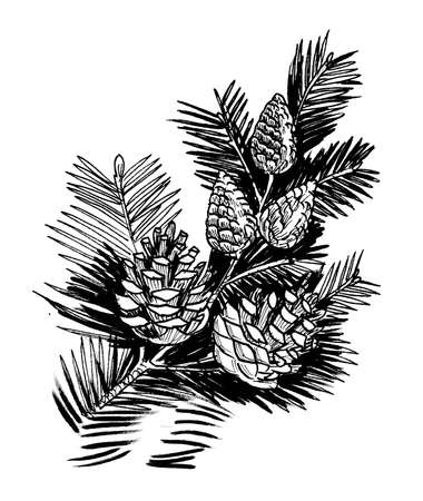 Pine branches with cones. Ink black and white drawing