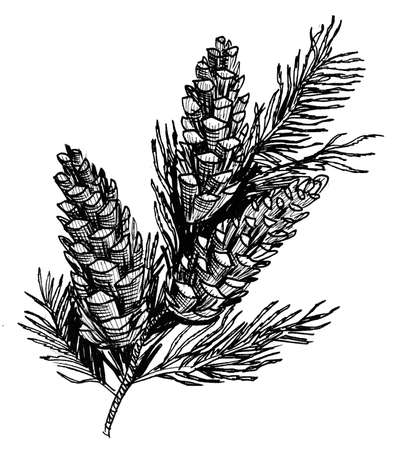 Pine branch with cones. Ink black and white drawing