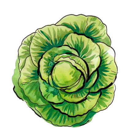 Cabbage vegetable head. Ink and watercolor illustration
