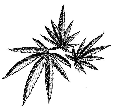 Cannabis plant leaves. Ink black and white drawing