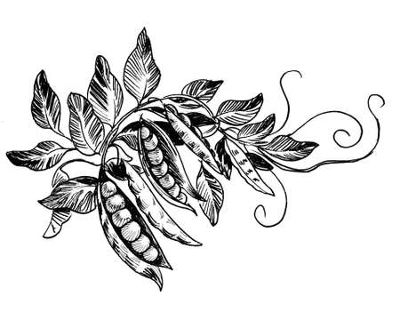Pea plant. Ink black and white drawing