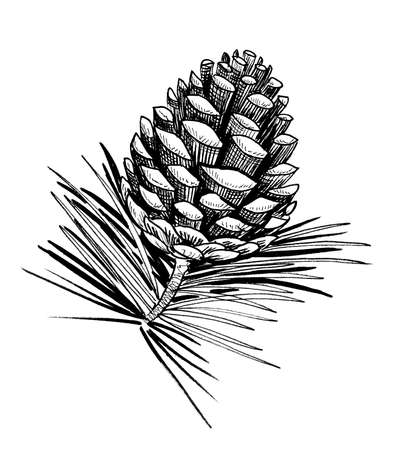 Pine cone. Ink black and white drawing