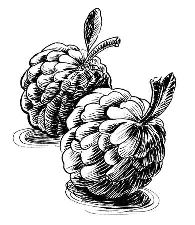 Sugar-apple fruit. Ink black and white drawing