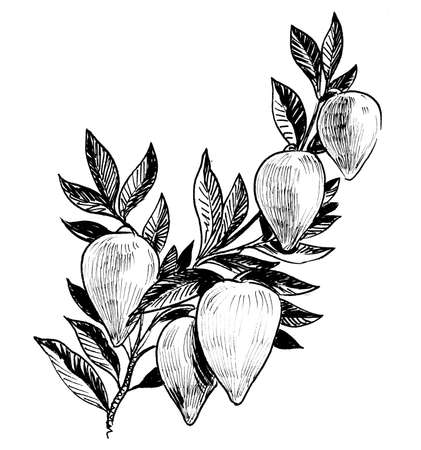 Tropical fruits on the tree. Ink black and white drawing