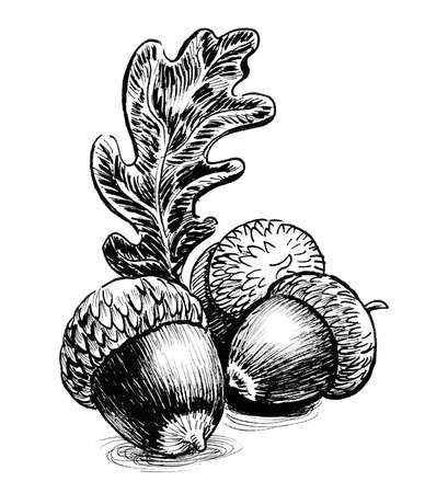 Oak acorns and leaf. Ink black and white drawing 版權商用圖片