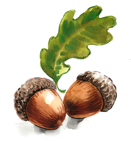 Pair of oak acorn and leaf. Ink and watercolor drawing