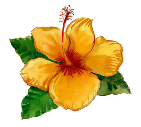 Beautiful yellow hibiscus flower. Ink and watercolor drawing