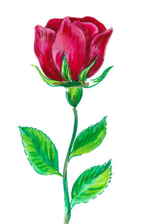Red rose flower. Ink and watercolor drawing