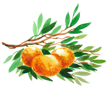 Mandarin fruits on a tree. Ink and watercolor drawing