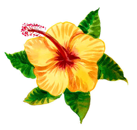 Yellow hibiscus flower. Watercolor painting