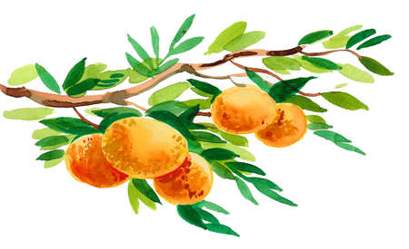 Mandarin fruit tree. Watercolor painting