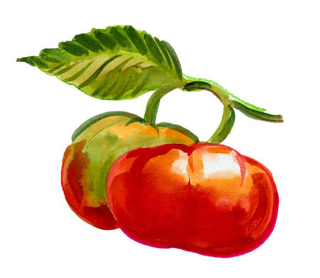 Tomato fruit on a branch with leaf. Watercolor painting 版權商用圖片