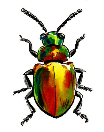 Colorful beetle insect on white background. Ink and watercolor drawing