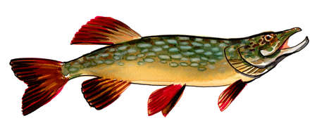 Pike fish on white background. Ink and watercolor drawing