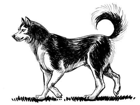 Walking husky dog. Ink black and white drawing