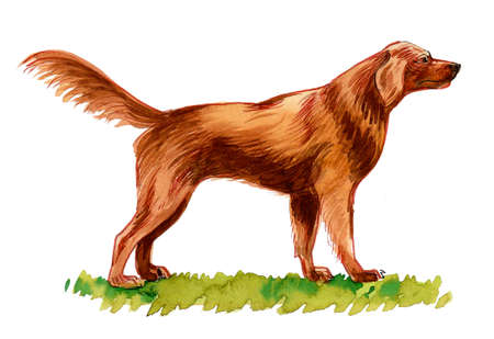 Irish setter dog on green grass. Ink and watercolor drawing