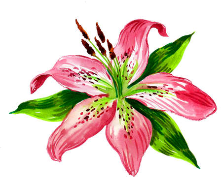 Beautiful lily flower. Watercolor painting