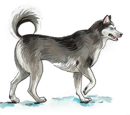 Walking husky dog. Ink and watercolor drawing