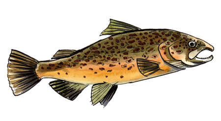 Salmon fish on white background. Ink and watercolor drawing