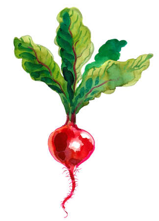 Red radish vegetable. Watercolor painting