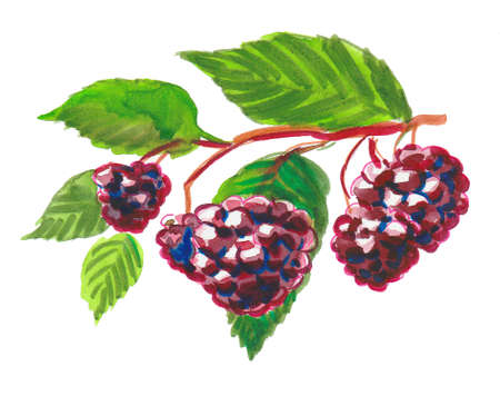 Bunch of blackberries on a branch. Ink and watercolor drawing