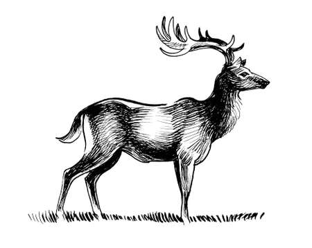 Standing stag deer. Ink black and white drawing Banque d'images