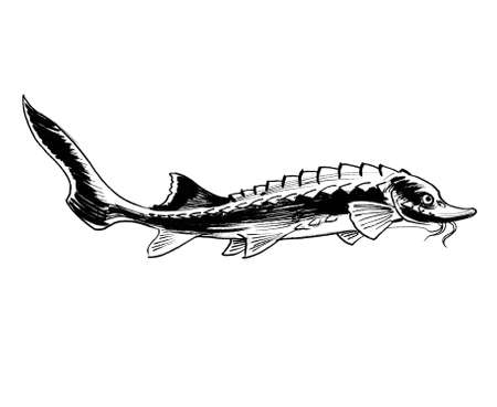 Sturgeon fish. Ink black and white drawing Banque d'images