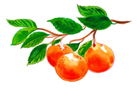 Fresh juicy sweet mandarin fruits. watercolor painting