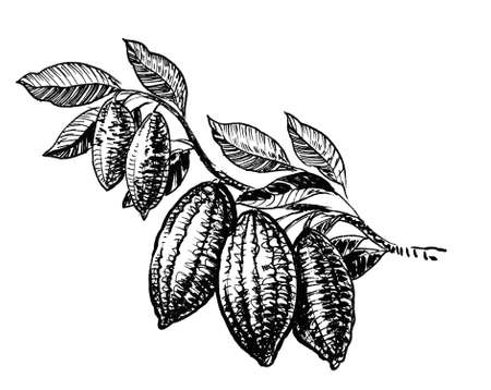 Cacao tree with beans. Ink black and white drawing