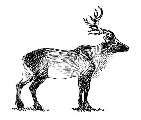 Northern stag deer. Ink black and white drawing