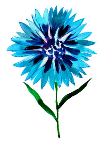 Blossoming blue cornflower. Watercolor painting