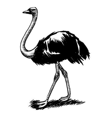 African ostrich bird. Ink black and white drawing Banco de Imagens