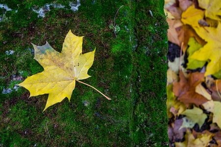 Yellow maple leaf on the mossy grave in the church yard Stock Photo