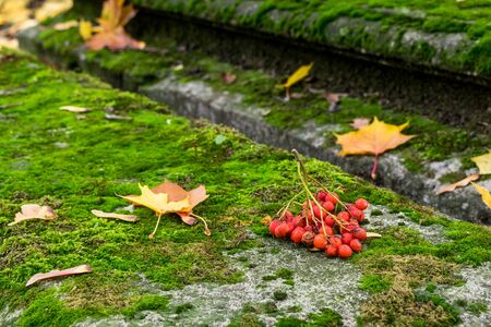 Bunch of ashberry on the mossy grave in the church yard Stock Photo
