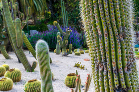 Park of cacti in Barcelona at Montjuic hill, Spain. Selective focus