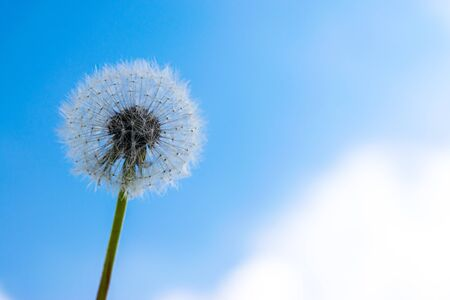 Dandelion with seeds against a blue sky 版權商用圖片