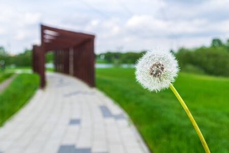 Dandelion against a blurred walkway in a park