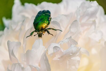 Rose chafer feeding on a flower