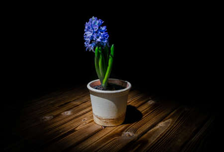 Hyacinth in the pot on a wooden table against black background 版權商用圖片