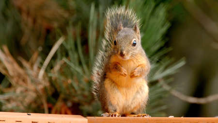 A small squirrel stands on its hind legs and looks directly into the frame. Photo squirrels up close. Banco de Imagens
