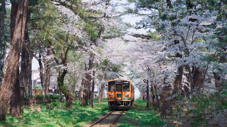 The train passes near the cherry blossom. Train in the middle of flowering trees.