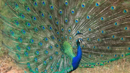 Peacock spreads its tail. Beautiful tail of a peacock. 版權商用圖片